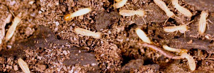 termite-control